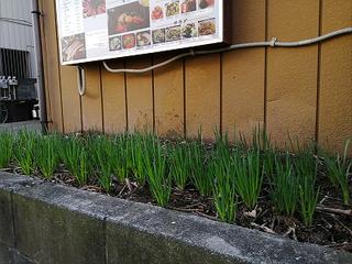 ネギの栽培-2.jpg